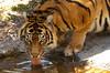 Sumatran Tiger drinking (Panthera tigris sumatrae)