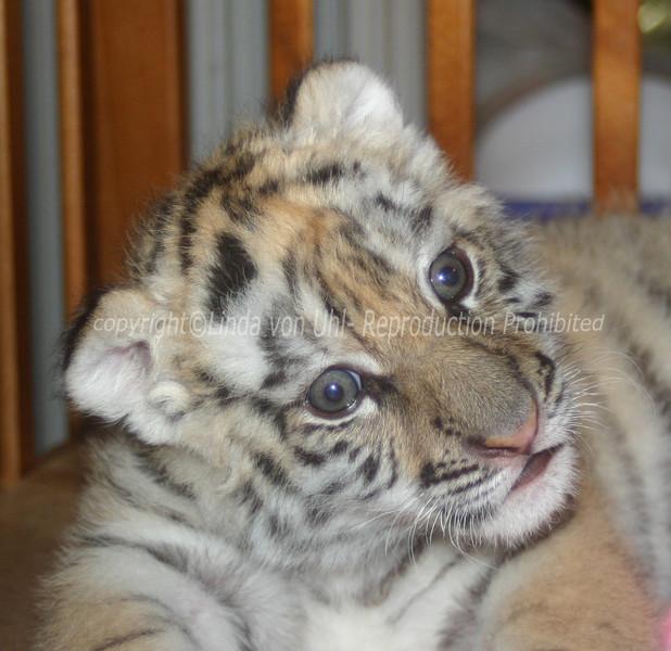 I am Celeen. I am a bengal/siberian mix tiger.