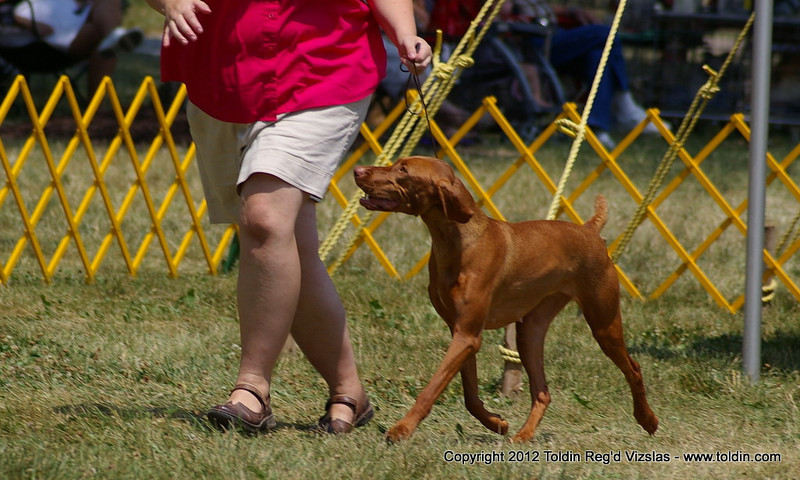 Jen Miller with Freya in the Best of Breed competition. Despite oppressive heat, both were moving well! :)