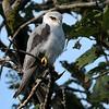 Immature Black-shouldered Kite