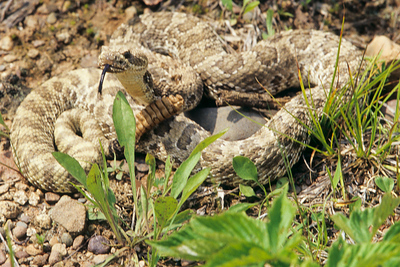 Black tail rattlesnake senses warmth with tongue