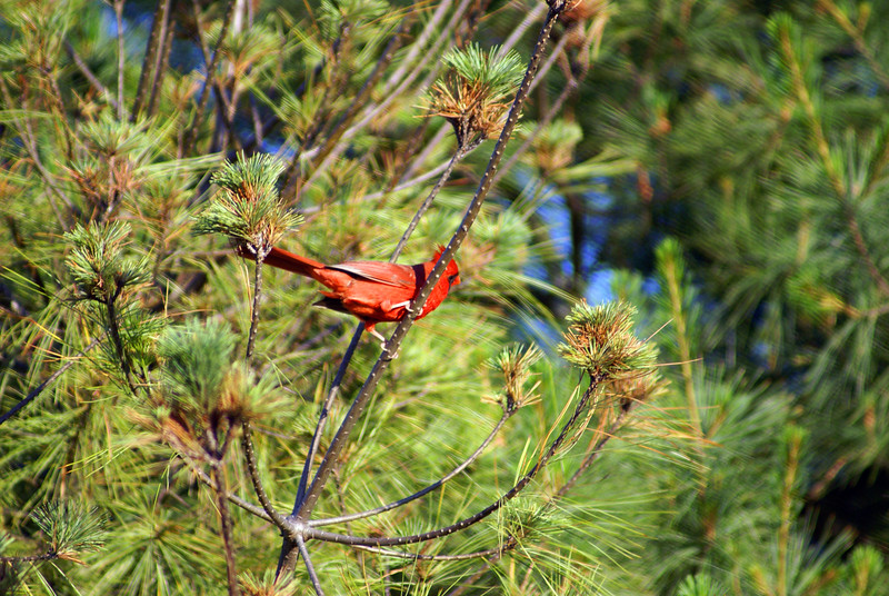 Male cardinal in a pine tree. Dasterdly bird would never look straight at me.