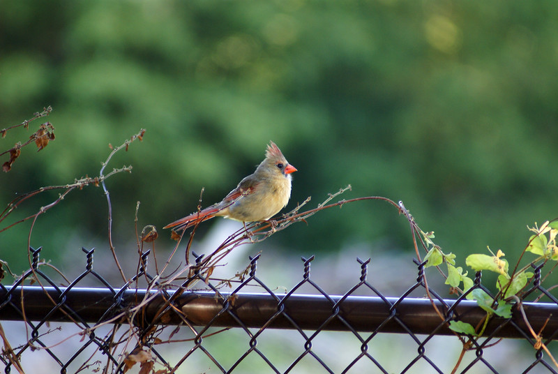 Female cardinal on a chain link fence - my favorite photo
