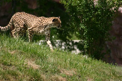 Cheetah on the hunt...