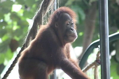 Orang-utan (shot through a glass window)