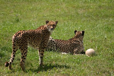 The two cheetahs...