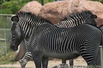 Black and white, eats like a horse