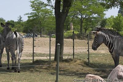 Look at that ass, um, zebra...