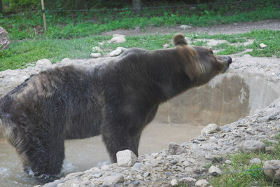 Grizzly Bear Shaking Off the Water
