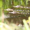 American Alligator juveniles