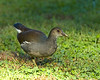 Common Moorhen, Immature