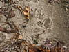 Raccoon tracks in wet sand.<br /> .<br /> Shoreline, Crooked Lake, Michigan<br /> December 1, 2012