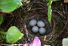 Nest of White Wagtail