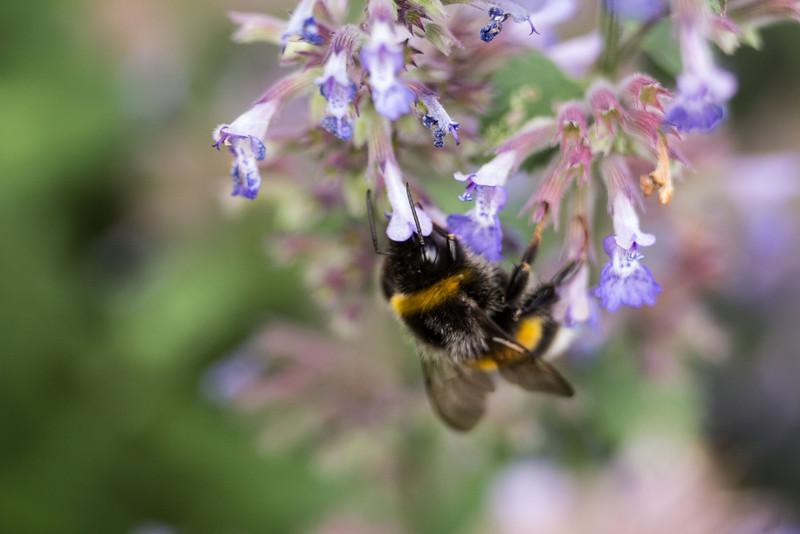 Tagen på fri hand.<br /> Trägårdshumla/Garden bumblebee, 70-200 f/4 L + 36mm Extension Tube.