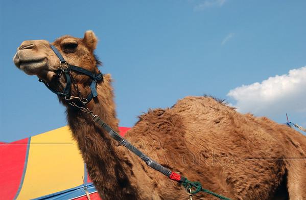 Bedraggled camel