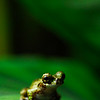 frog_CCC0090