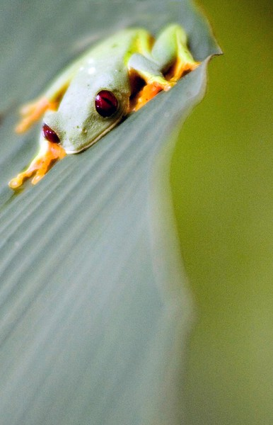74275187_red eyed tree frog image 2