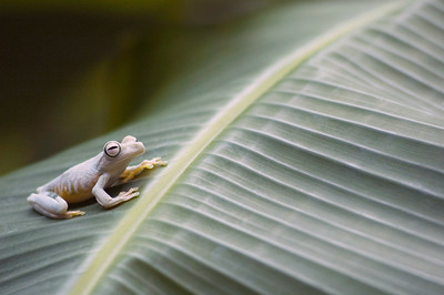 Hyla arianae tree frog - Costa Rican jungle