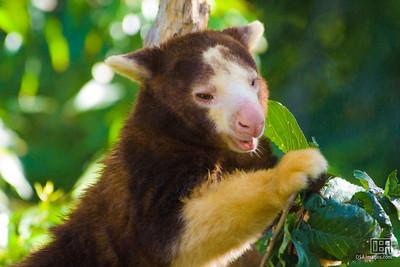 Tree-kangaroo