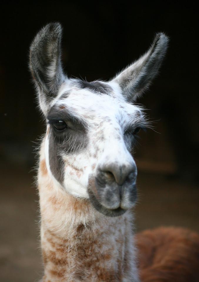 Llama portrait tri state zoological park