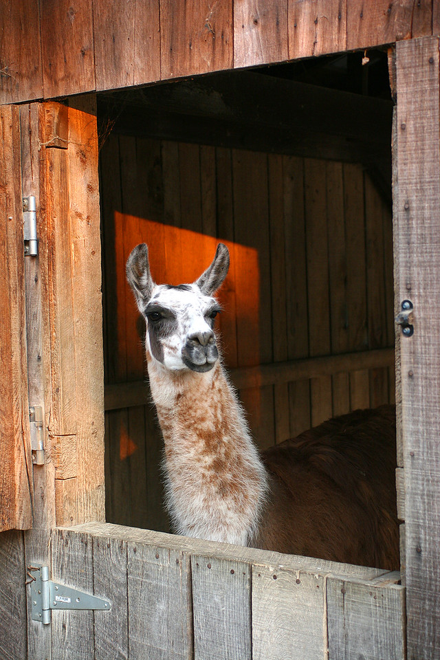 Llama in the barn tri state zoological park