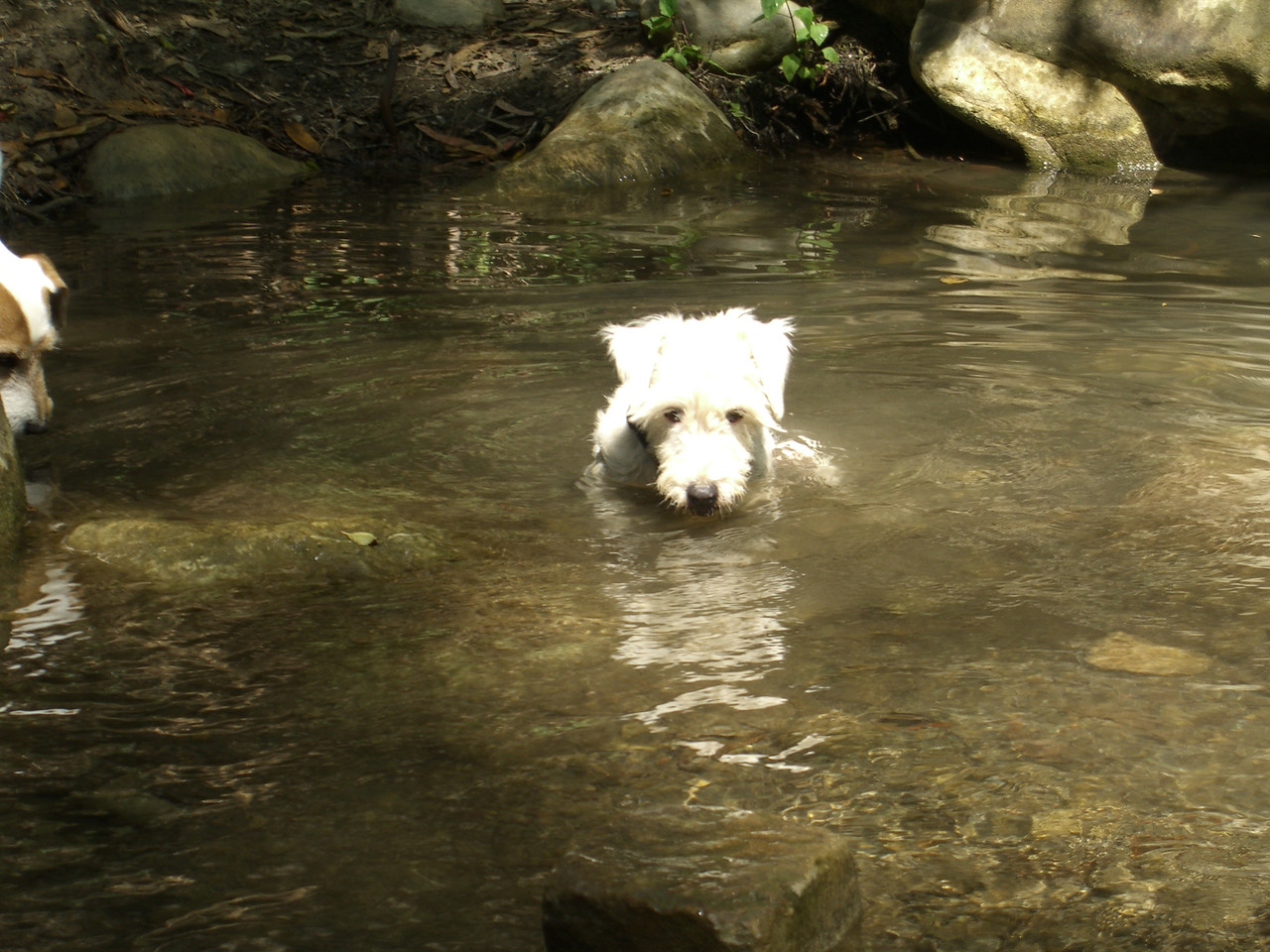 7/15/07 Whitty soaking in San Ysidro Creek, Montecito