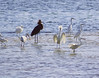 A Gathering of Egrets