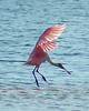 A Gentle Landing<br /> Spoonbill at Sanibel Island