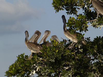 Brown Pelicans 4