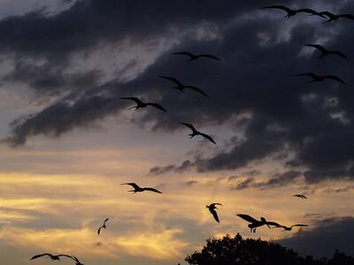 Magnificant Frigatebirds 8