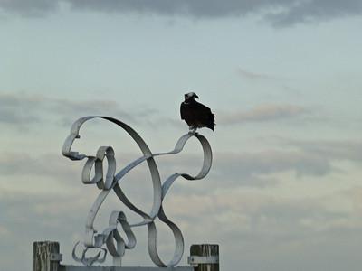 Osprey on a Porpois