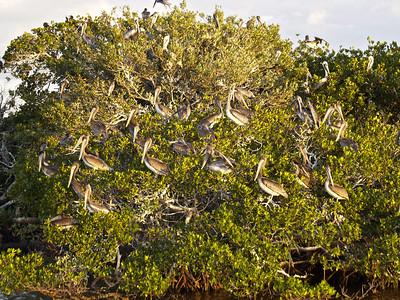 Brown Pelicans 6