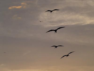 Magnificant Frigatebirds 6