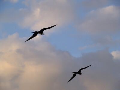 Magnificant Frigatebirds 1