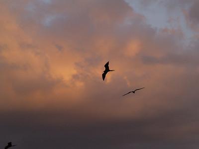Magnificant Frigatebirds 7