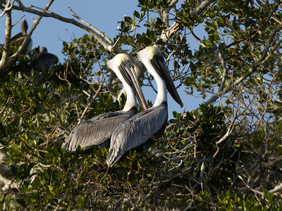 Brown Pelicans 2