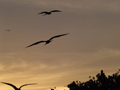 Magnificant Frigatebirds 3