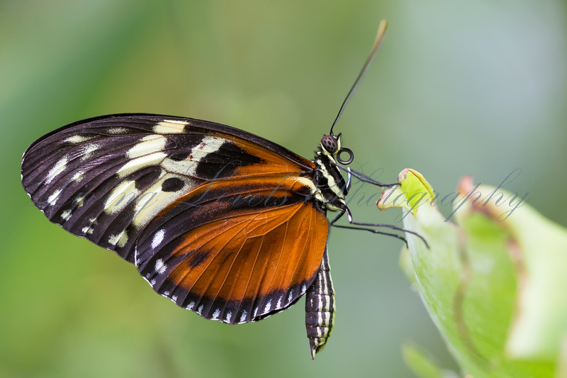 An Isabella Tiger butterfly (Euedes isabella) rests on leaf at the Butterfly Farm in Stratford-upon-Avon