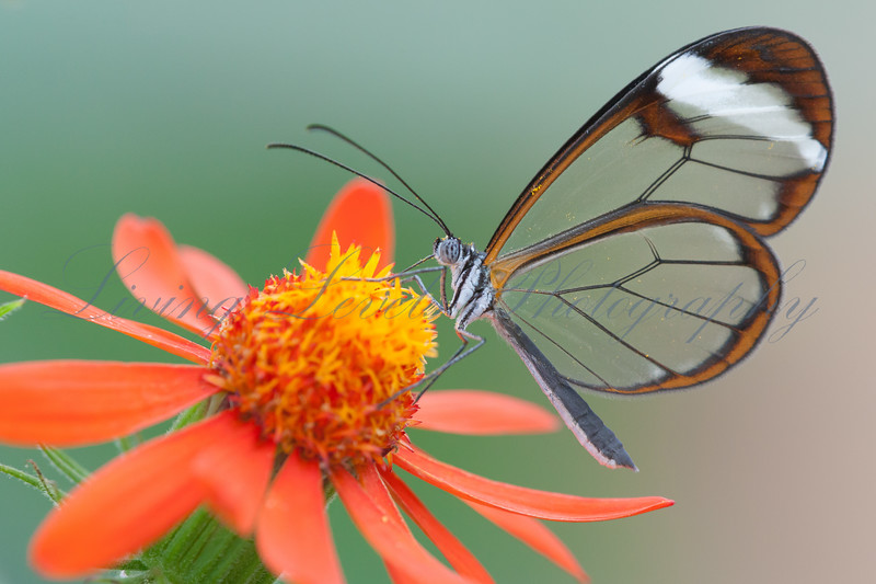 Glasswinged butterfly (Greta oto) feeding from a flower in the butterfly house at Congresbury, Somerset