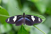 A Doris Longwing butterfly (Heliconius doris) basks open winged at the Butterfly Farm in Stratford-upon-Avon