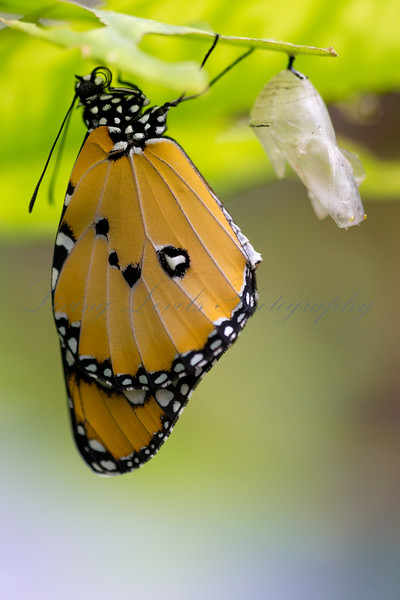A Plain Tiger butterfly (Danaus chrysippus) inflates its wings after emerging from its chrysalis.