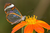 "A ""Glass Wing"" butterfly feeds from a flower in a butterfly house in Somerset"