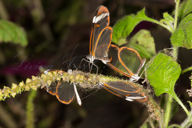 """""""Glass Wing"""" butterflies (Greta oto), drinking at North Somerset Butterfly House"""