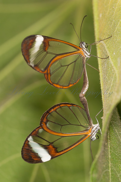 """Pair of """"Glass Wing"""" butterflies mating"""