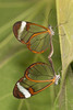"Pair of ""Glass Wing"" butterflies mating"