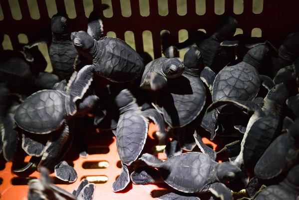 "Little brothers and sisters waiting to be released into the sea by the rangers as part of the visitor education programme.<br /> <br /> All print proceeds go to Turtle Foundation, who run sea turtle conservation programmes throughout Indonesia and Borneo.<br />  <a href=""http://www.turtle-foundation.org"">http://www.turtle-foundation.org</a>"