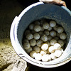 "While most likely all of these eggs will hatch, even under the protection of the rangers, perhaps a third will survive their first few days in the open sea.<br /> <br /> All print proceeds go to Turtle Foundation, who run sea turtle conservation programmes throughout Indonesia and Borneo.<br />  <a href=""http://www.turtle-foundation.org"">http://www.turtle-foundation.org</a>"