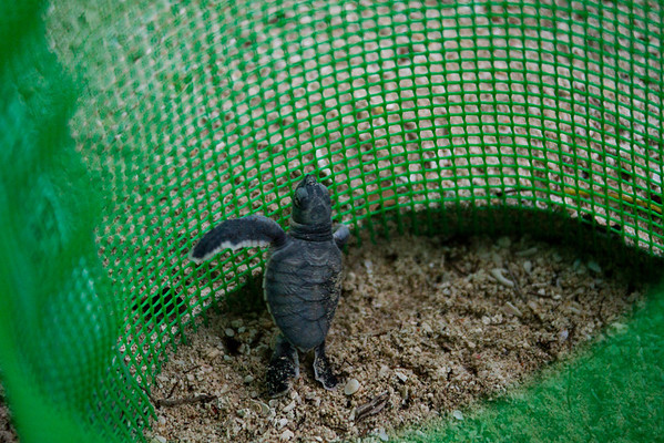 """Best of breed: this little fellow was the first to make it out of the nest.<br /> <br /> All print proceeds go to Turtle Foundation, who run sea turtle conservation programmes throughout Indonesia and Borneo.<br />  <a href=""""http://www.turtle-foundation.org"""">http://www.turtle-foundation.org</a>"""