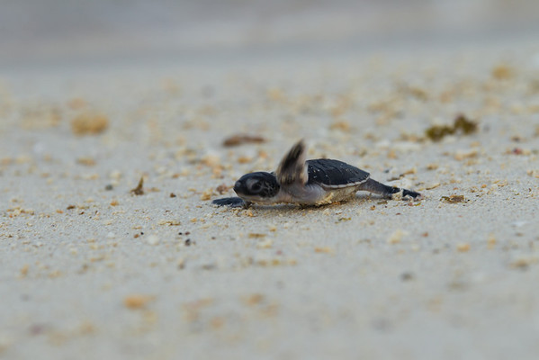 "This little chap waves goodbye with his flipper before making his way to the open sea. Good luck!<br /> <br /> All print proceeds go to Turtle Foundation, who run sea turtle conservation programmes throughout Indonesia and Borneo.<br />  <a href=""http://www.turtle-foundation.org"">http://www.turtle-foundation.org</a>"