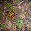 June 18, 2013 - box turtle digging a nest just west of Henry's driveway